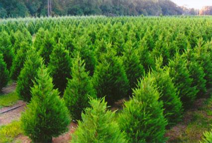 christmas trees - Christmas Tree Nursery